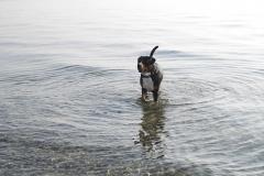 Grossser-Schweizersennenhund-Ostsee