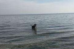 009-Sammy-Grosser-Schweizer-Sennenhund-in-der-Ostsee