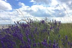 Lavendel-am-Strand-von-Pelzerhaken